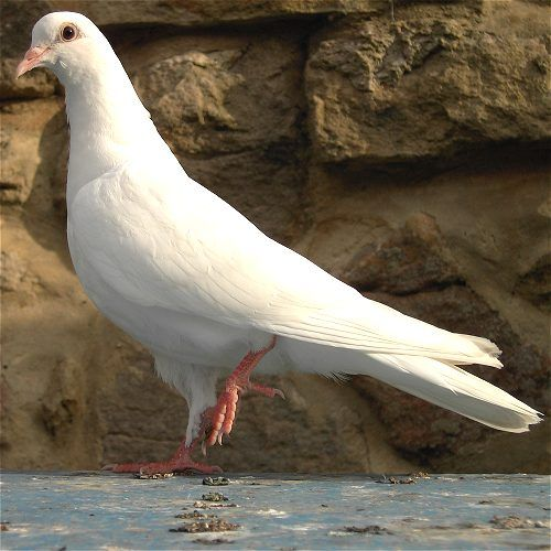 white pigeon hispanic singles White hispanic and latino americans in the united states, a white hispanic is an american citizen or resident who is racially white and of hispanic.
