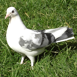 Fantail Doves for sale in London - Young Dove for Sale