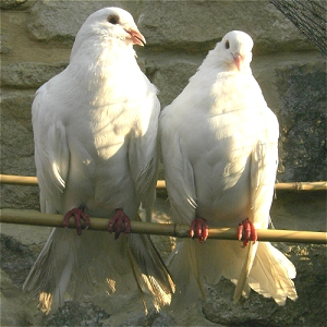 Pair of White Doves - Breeding Pair of Fantails - Fantail Pairs for Sale