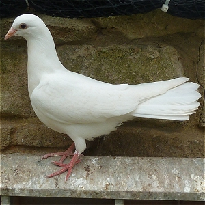 Doves For Sale >> Baby White Dove Fantail Doves For Sale