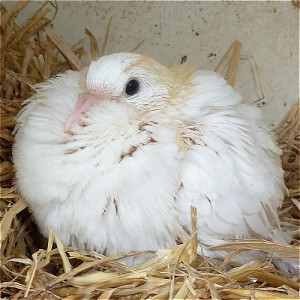 DOVES FOR SALE - FANTAILED - FANTAILS - Baby Fantail Dove - Fantail