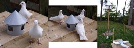 Caring for garden doves and fantail doves