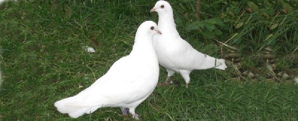 Fantail Doves For Sale Dovecotes For Sale