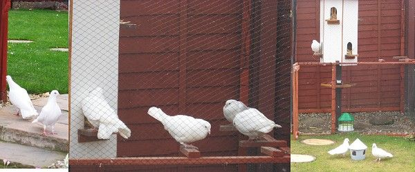 Fantail Doves For Sale and Dovecote Sales